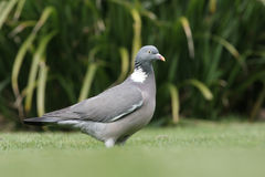 Wood pigeon, Columba palumbus Stock Images