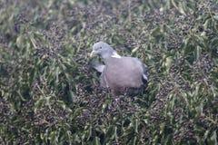 Wood pigeon, Columba palumbus Royalty Free Stock Image
