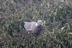 Wood pigeon, Columba palumbus Royalty Free Stock Photography