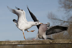 Wood pigeon, Columba palumbus Stock Image