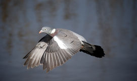 Wood pigeon, Columba palumbus Royalty Free Stock Images