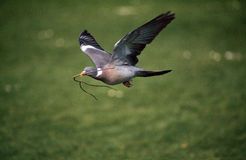 Wood pigeon, Columba palumbus Stock Photography