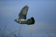 Wood pigeon, Columba palumbus Stock Photos