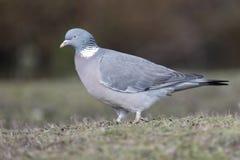Wood pigeon, Columba palumbus Stock Photo
