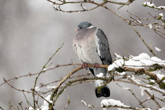 Wood pigeon, Columba palumbus Royalty Free Stock Photography