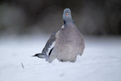 Wood pigeon, Columba palumbus Stock Photos