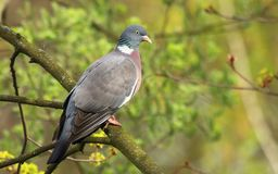 Wood pigeon Columba palumbus Royalty Free Stock Photography
