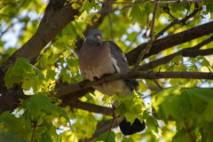 Wood pigeon (Columba palumbus) Stock Images