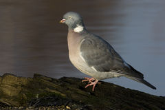 Wood pigeon; Columba palumbus Stock Image
