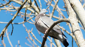 Wood Pigeon (Columbiformes) Stock Photo