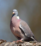 Wood pigeon. Common colorful wood pigeon bird royalty free stock images