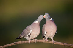 Wood pigeon couple Stock Images