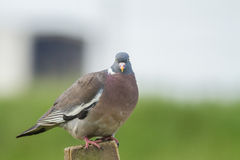 Wood Pigeon. A Curious Wood Pigeon (Columba palumbus) Perched on a Log Royalty Free Stock Photo