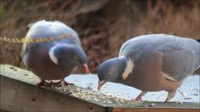 Wood pigeon eating bird seed stock video footage