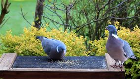 Wood pigeon eating bird seed stock video