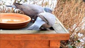 Wood pigeon eating bird seed. Columba palumbus stock footage
