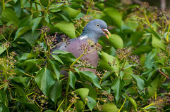 Wood Pigeon eating Ivy berry Royalty Free Stock Images