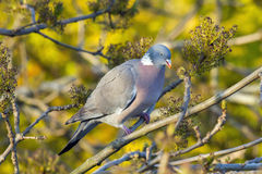 Wood pigeon Stock Photos