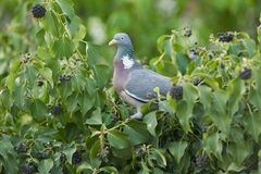 Wood pigeon eats berries on wall overgrown with ivy Stock Images