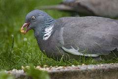 Wood Pigeon. Royalty Free Stock Photos