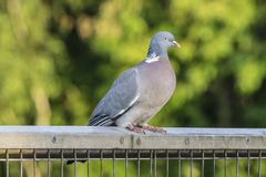 Wood Pigeon on a Fence Stock Image