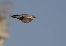 A Wood Pigeon in flight Stock Photos