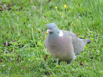 Wood pigeon Stock Images