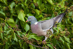 Wood Pigeon in Ivy Royalty Free Stock Photo