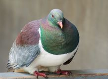 Wood Pigeon Kereru - a New Zealand native wood pigeon sitting in blurry background. Kereru Hemiphaga novaeseelandiae, Westland Stock Photos