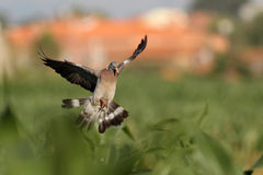 Wood pigeon landing Stock Photos