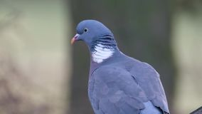 Wood pigeon looking for food in urban house garden. stock footage