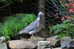 Wood Pigeon. Stock Photos