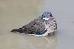 Wood Pigeon palumbus taking a bath in a pond Stock Images