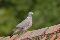 Wood Pigeon perched Royalty Free Stock Image