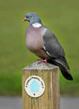 Wood Pigeon perched on a signpost Stock Images