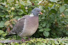 Wood pigeon perching on a garden fence Royalty Free Stock Photos