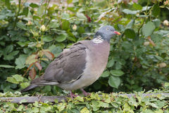 Wood pigeon perching on a garden fence Royalty Free Stock Images