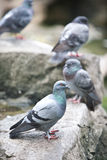 Wood pigeon resting on a rock Stock Photos