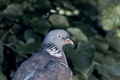 Wood pigeon in the city. Wood pigeon, ringdove, ring dove royalty free stock images