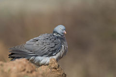 Wood Pigeon with ruffled feathers Stock Image