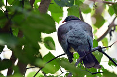 Wood pigeon sit on a tree branch Stock Photo