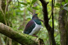 Kereru New Zealand Wood Pigeon In Forest. Wood pigeon sits on branch in wooded new zealand bushlands royalty free stock image