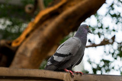 A wood pigeon sits in the branches Stock Photo