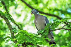 Wood pigeon sitting on branch in a tree Royalty Free Stock Image