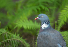 Wood pigeon summer portrait. Poland in summer.Portrait of the Wood pigeon(Columba palumbus).He is sitting on the earth and in the background one can see ferns Royalty Free Stock Image