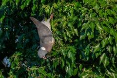 Wood pigeon wild bird Columba livia hanging upside down eating winter berries from everygreen tree royalty free stock photography