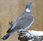 Wood pigeon at wintertime Royalty Free Stock Photo