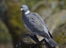 Wood Pigeon Stock Photography