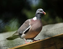 Wood pigeon. Royalty Free Stock Images