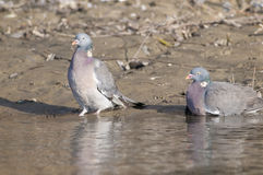 Wood Pigeons Pair Stock Photo